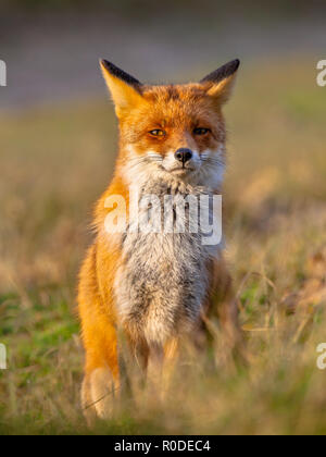 A full resolution portrait of a posing red fox (Vulpes vulpes) in natural environment. The beautiful wild animal of the wilderness. Shred looking in t - Stock Photo