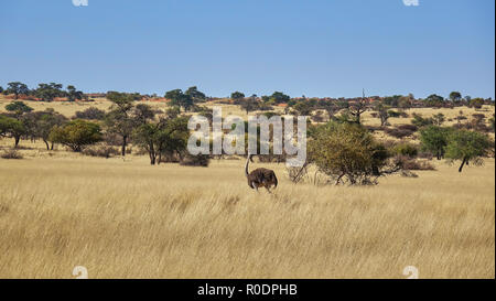 Wild ostrich walking through savannah grassland in Namibia dotted with acacia trees in a wide angle landscape view during an African safari - Stock Photo