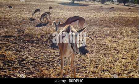 Curious springbok approaching the camera outdoors in a dry grassland field in the Namibian savannah - Stock Photo
