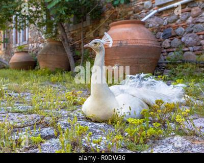 White Peacock on the courtyard of Limonos monastery on Lesbos island, Greece - Stock Photo