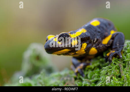 Fire salamanders (Salamandre salamandre) live in central European old deciduous forests and are more common in hilly areas with lots of dead wood. - Stock Photo