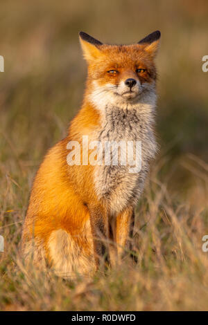 A full resolution portrait of a posing red fox male in natural environment. The beautiful wild animal of the wilderness. Shred looking in the camera.  - Stock Photo