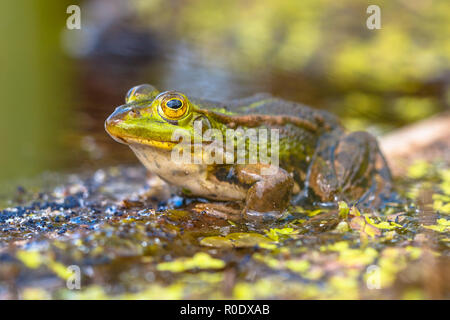 Edible Green Frog (Pelophylax kl. esculentus) on the bank of a pond in Natural Habitat - Stock Photo