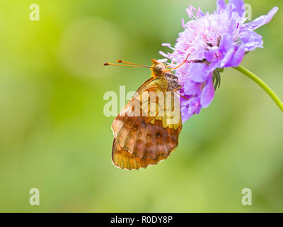 Beautiful Wild Lesser Marbled Fritillary Butterfly (Brenthis ino) - Feeding on Flowers - Stock Photo