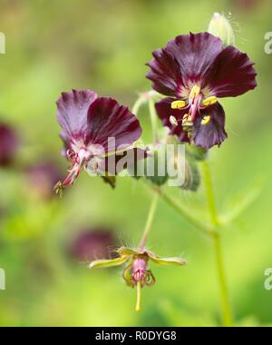 Dusky cranesbill (Geranium phaeum) in bloom - Stock Photo