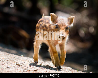 Young Wild Boar (Sus scrofa) is walking in the sun - Stock Photo