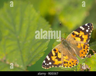 Painted lady (Vanessa cardui) sitting on leaves with copy space - Stock Photo