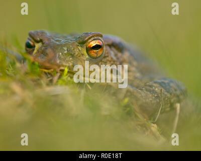 Portret van een pad tijdens de paddentrek - Stock Photo
