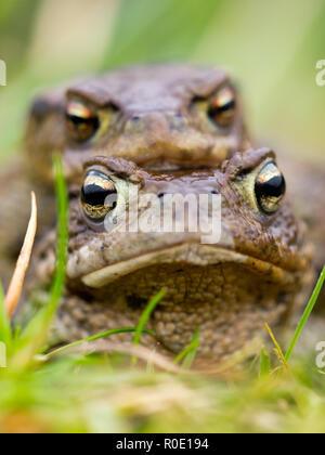 Portret van een paartje padden in amplex, vooraanzicht - Stock Photo
