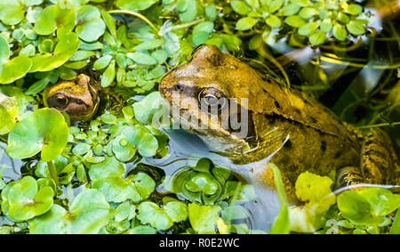 A Common Frog (Rana temporaria) and froglet surrounded by frogbit pond weed in a garden pond. UK - Stock Photo