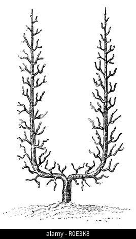 Trellis fruit: U-shape, anonym  1911 - Stock Photo