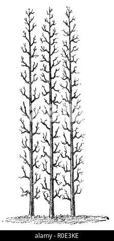 Trellis fruit: Upright cordon tree, anonym  1911 - Stock Photo