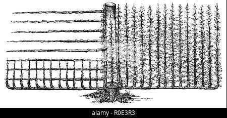 Finishing of fruit trees: lateral grafting, trellis tree,   1877 - Stock Photo