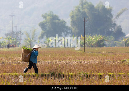 MAI CHAU, VIETNAM, DECEMBER 20, 2014 : A farmer is carrying a basket of fodder in the harvested rice field in the village of Mai Chau, Vietnam. - Stock Photo