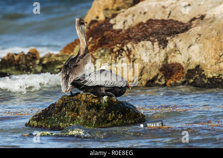 Plastic bottle floating past two perching pelicans on the coast of Tulum, Mexico - Stock Photo