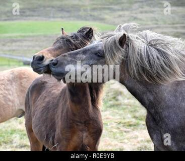 Two Icelandic horses, one teasing the other. Bay and dapple gray. - Stock Photo