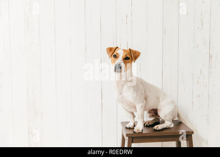 Small jack russell terrier dog on chair has smart look at camera, notices something interesting into distance, poses against white wall with blank cop - Stock Photo