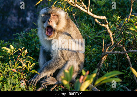 A yawning monkey in Indonesia. - Stock Photo