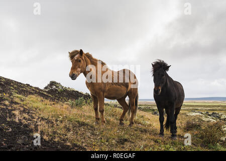 Brown and black Icelandic horses standing on the moss covered hill, Iceland. - Stock Photo