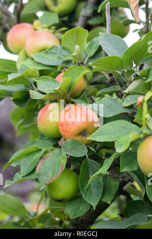 Close up of Malus domestica 'King of the Pippins' ripe apples on tree - Stock Photo
