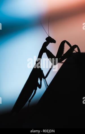 Mantis. Black insect silhouette on blurred background, vertical macro photo - Stock Photo