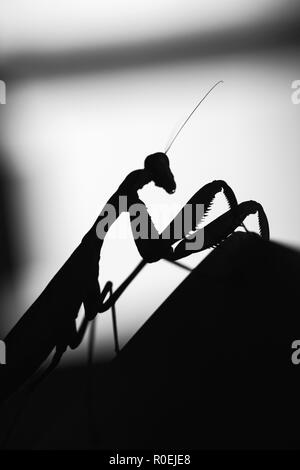 Black silhouette of mantis insect on blurred background, black and white macro photo - Stock Photo