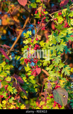 Close-up of a Cotoneaster bush with lots of red berries on branches, autumnal background. Colorful autumn, wild bushes with red berries in the park. - Stock Photo