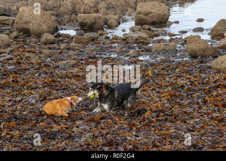 Bangor, County Down, Northern Ireland. 04 November 2018. UK weather -  sunny spells on a calm autumn day along the coastal walk at Bangor. Dogs playing on beach. Credit: David Hunter/Alamy Live News. - Stock Photo