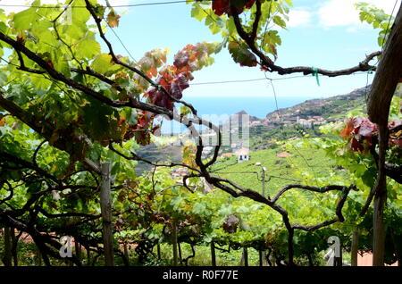 Vineyards with sea view near Estreito de Camara de Lobos, Madeira - Stock Photo