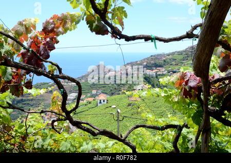 Vineyards with sea view near Estreito de Camara de Lobos, Madeira