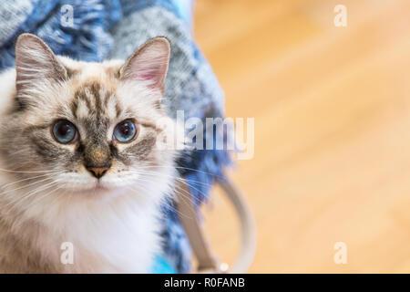Beauty domestic cat at home, siberian breed - Stock Photo