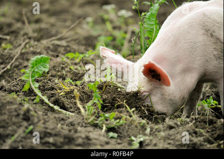 Young pig digging soil to eat grass roots - Stock Photo