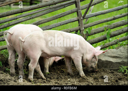 Young pigs digging soil to eat grass roots - Stock Photo