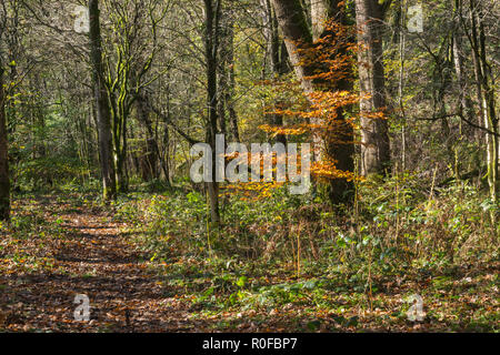 A path through autumn woodland covered with fallen leaves and a single small tree with golden colourful leaves in Brock Valley,Lancashire, England, UK - Stock Photo