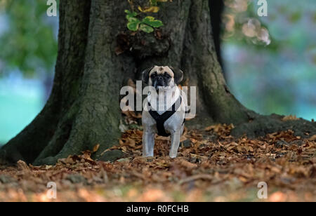 Puggle-Cross between a Pug and Beagle dog- Canis lupus familiaris. - Stock Photo