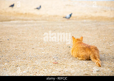 Cats hunting on dove on the beach of Mykonos, Greece - Stock Photo