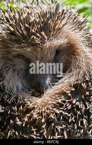 An European hedgehog (Erinaceus europaeus) rolled into a ball - Stock Photo