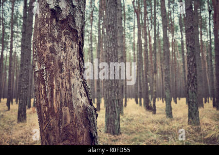 Retro toned picture of an autumnal dark forest scenery, focus on the front tree. - Stock Photo