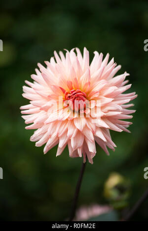 Close up of Cactus Dahlia variety Perfection in full flower - Stock Photo