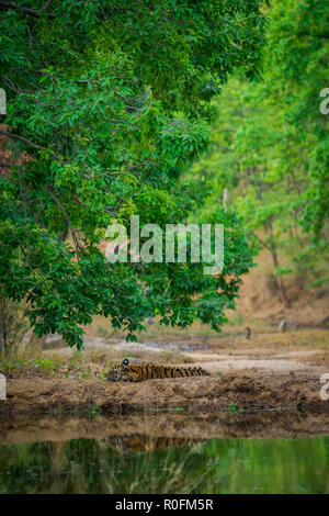 Portrait of tiger growling in forest, India, Asia Stock
