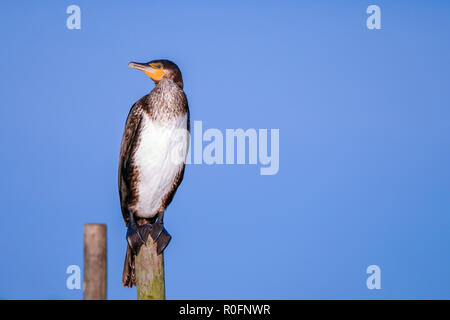 Great Cormorant (Phalacrocorax carbo) sits on top of a pole in the Heegermeer in Friesland in the north of the Netherlands. Looks nice against the blu - Stock Photo