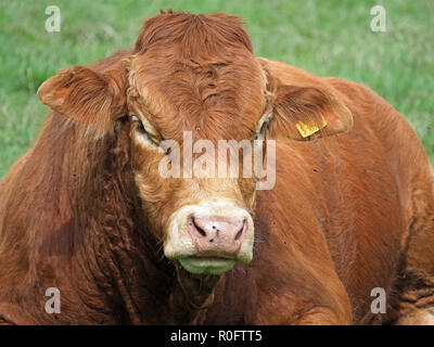 massive sitting brown bull from a breeding herd of beef cattle staring straight at the camera in the Northern Pennines, Cumbria, England, UK - Stock Photo