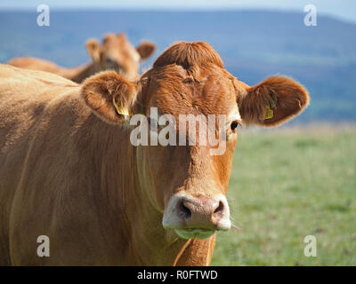 large brown cow with soft features and comical fringe hairstyle staring straight at the camera in the Northern Pennines, Cumbria, England, UK - Stock Photo