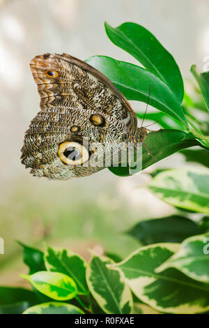 Lateral close-up of a banana-leaf (lat: caligo beltrao) with folded wings sitting on a green oval leaf in front of light background. - Stock Photo