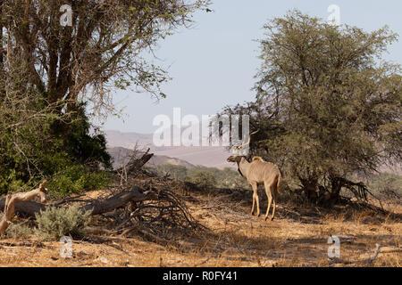Namibia wildlife - an adult male Greater Kudu ( Tragelaphus strepsiceros ), Damaraland Namibia Africa - Stock Photo