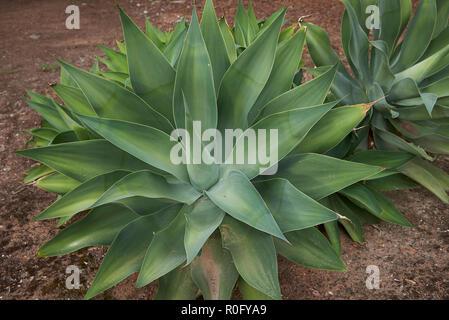 Agave attenuata plants - Stock Photo