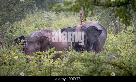 Wild elephants, Udawalawe national park Sri Lanka - Stock Photo