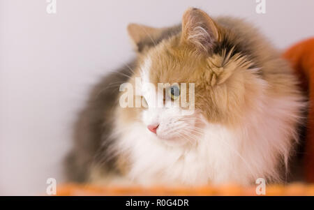 Beautiful long-hair female cat lying and looking to the side - Stock Photo