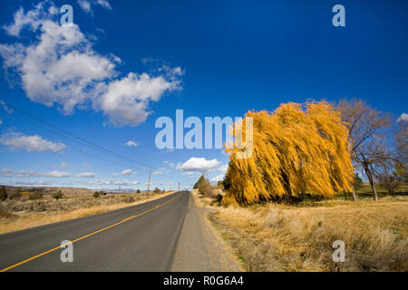 A beautiful weeping willow tree changing from green to gold on an autumn day in October in a remote ranch pasture in central Oregon. - Stock Photo