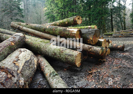 Big wood logs on the pile in the forest on an autumn cloudy day - Stock Photo
